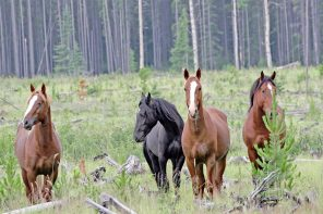 DNA tests reveal interesting lineage in central Alberta's wild horses